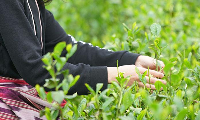 Yaş çay üreticilerine fark ödemesi desteği verilecek